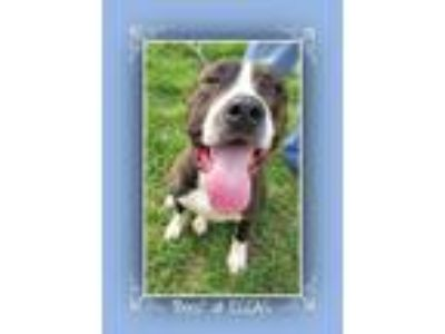 Adopt Boss a Brindle - with White Pit Bull Terrier / Mixed dog in Elizabethton