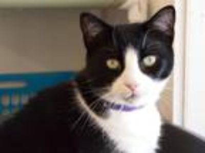 Adopt Charlie a Domestic Shorthair / Mixed (short coat) cat in Cumberland