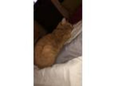 Adopt Blaze a Orange or Red Tabby Domestic Shorthair / Mixed cat in Eaton