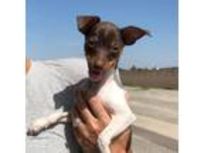 Adopt Tim a Brown/Chocolate Miniature Pinscher / Mixed dog in Visalia