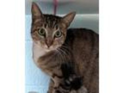 Adopt Lia a Brown Tabby Domestic Shorthair / Mixed (short coat) cat in Redwood