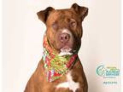 Adopt BUDDY a Red/Golden/Orange/Chestnut - with White Shar Pei / Mixed dog in