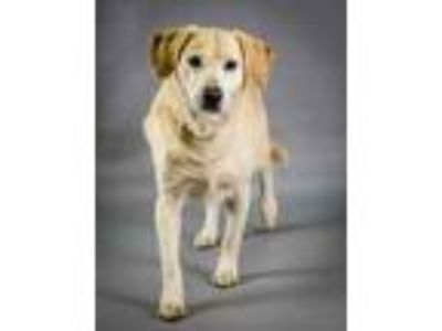 Adopt Rhino a Tan/Yellow/Fawn Labrador Retriever / Mixed dog in Chesapeake