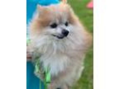 Adopt Rocky a White - with Red, Golden, Orange or Chestnut Pomeranian / Mixed