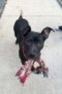 Logan Pit Bull Terrier Dog