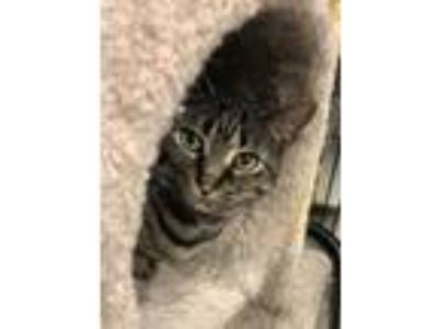 Adopt Olympia and Onessa a Domestic Short Hair