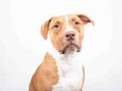 Adopt MARE a White - with Brown or Chocolate American Pit Bull Terrier / Mixed