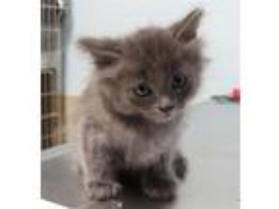 Adopt Stormy a Domestic Longhair / Mixed cat in Sioux City, IA (25291480)