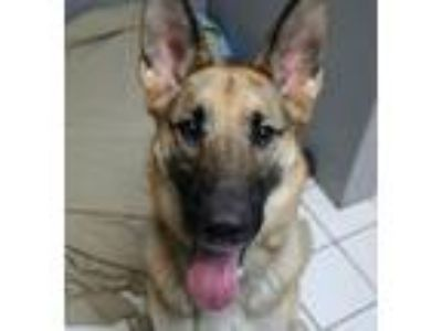 Adopt Zena a German Shepherd Dog