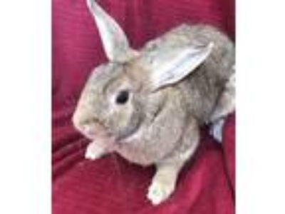 Adopt Joseph Two a Bunny Rabbit