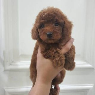 Poodle (Toy) PUPPY FOR SALE ADN-93956 - Poddle  toy Red