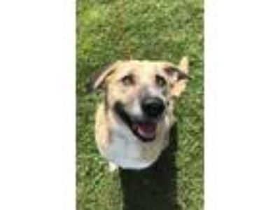 Adopt Callie a Tan/Yellow/Fawn German Shepherd Dog / Labrador Retriever / Mixed