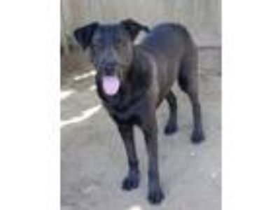 Adopt Butch a Labrador Retriever / Mixed dog in Memphis, TN (14068712)