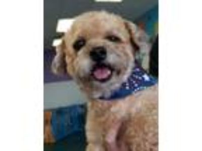 Adopt Theo a Brown/Chocolate Poodle (Miniature) / Mixed dog in Lee's Summit