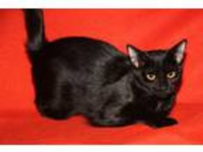 Adopt Dolly (Delta Dawn's Kitten) (Spayed) (Mother Combo Tested) a Domestic
