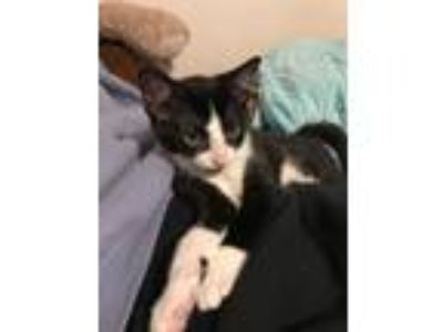 Adopt Alex a Black & White or Tuxedo American Shorthair cat in Poplar Grove