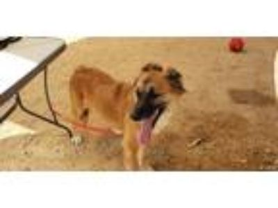 Adopt Poppy a Brown/Chocolate - with White Shepherd (Unknown Type) / Collie /