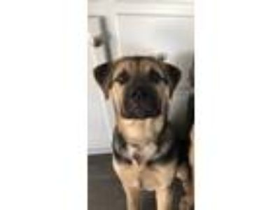 Adopt Maverick a Black - with Tan, Yellow or Fawn Rottweiler / Chow Chow dog in
