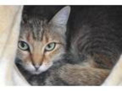 Adopt Tigger a Domestic Short Hair