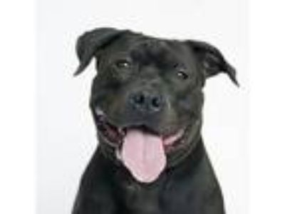 Adopt Jack a Black American Pit Bull Terrier / Mixed dog in Hilliard