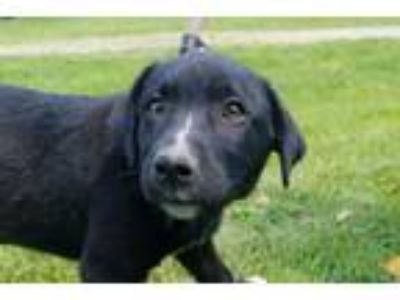 Adopt Willow a Labrador Retriever, Mixed Breed