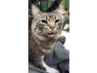 Adopt Cosmo a Tabby