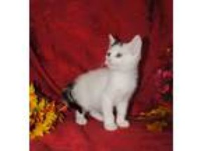 Adopt MARSHA a Domestic Short Hair