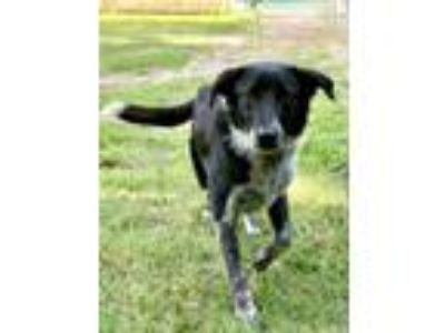 Adopt Cher a Border Collie