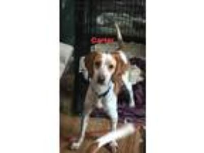 Adopt Carter a Tricolor (Tan/Brown & Black & White) Beagle / Mixed dog in