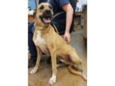 Adopt Jagger($50) a Tan/Yellow/Fawn Boxer / Anatolian Shepherd / Mixed dog in