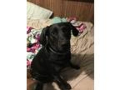 Adopt Dovah a Black Labrador Retriever dog in New Haven, IN (25199542)