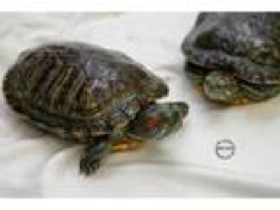 Adopt Pokey a Turtle - Other reptile, amphibian, and/or fish in Hughesville