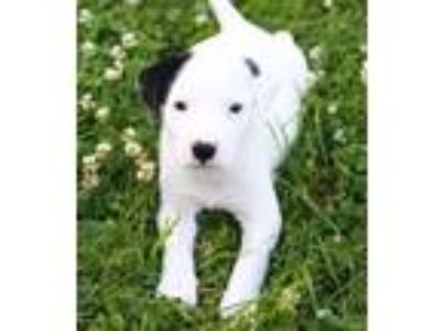 Adopt Astrid a White - with Black Hound (Unknown Type) / Mixed dog in Shorewood