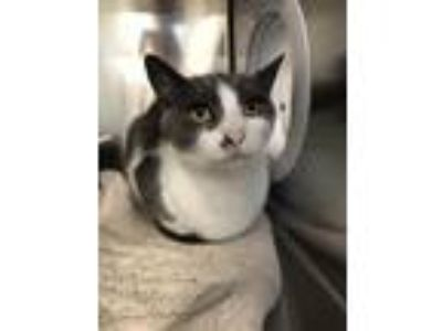 Adopt Emilio a White Domestic Shorthair / Domestic Shorthair / Mixed cat in