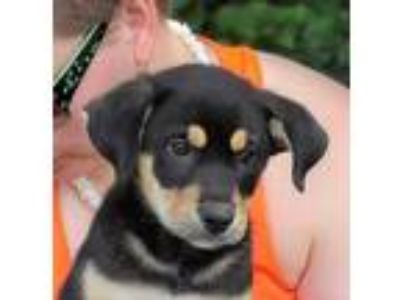 Adopt Ginny a Black - with Tan, Yellow or Fawn Husky / Shepherd (Unknown Type) /