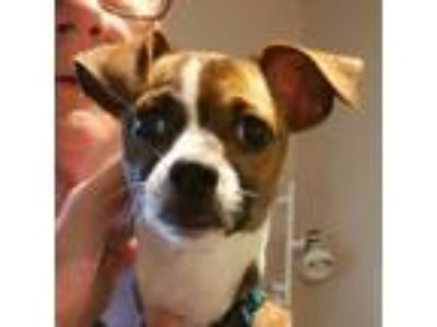 Adopt Shiloh a Jack Russell Terrier