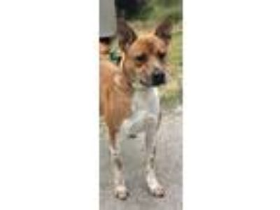 Adopt Califa a Basenji / Shepherd (Unknown Type) / Mixed dog in Silverdale