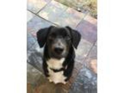 Adopt Mason a Black - with White Labrador Retriever / Mixed dog in ROSENBERG