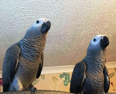 Sxazqwas African Grey Parrots for sale
