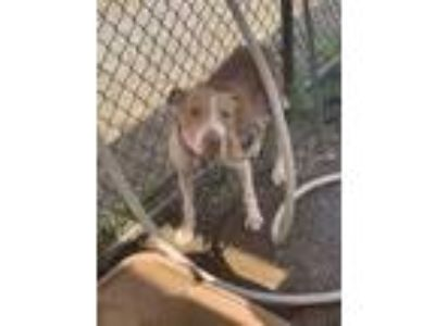 Adopt Yala a Brown/Chocolate American Pit Bull Terrier / Mixed dog in