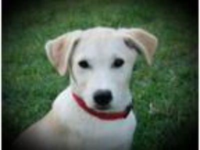 Adopt Dusty B a Labrador Retriever, Husky