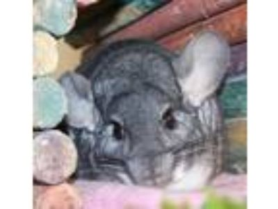 Adopt David a Chinchilla