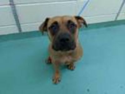 Adopt CHARLOTTE a Brown/Chocolate - with Black Mixed Breed (Medium) / Mixed dog