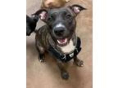 Adopt Fate a Brindle - with White Whippet / Labrador Retriever / Mixed dog in
