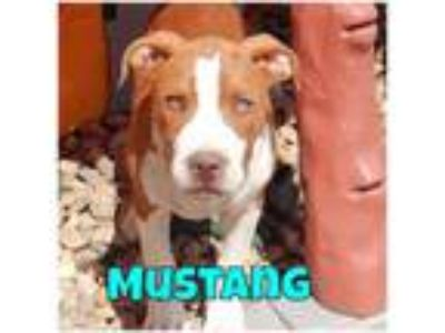 Adopt Mustang a Pit Bull Terrier