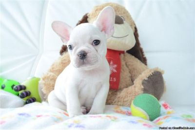 Affectionate French Bulldog Puppies For Sale.