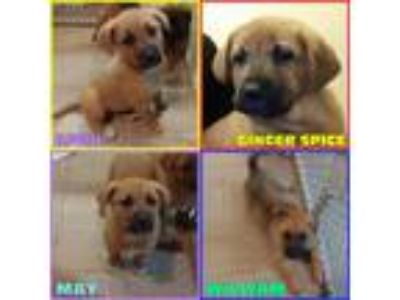 Adopt Shepherd Puppies 3 Girls 1 Boy a German Shepherd Dog