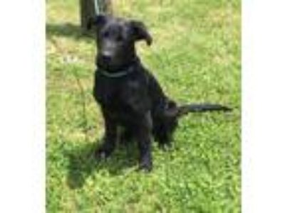 Adopt Willy a Labrador Retriever / Mixed dog in Williamstown, KY (25566991)