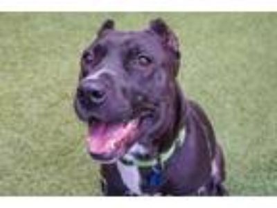 Adopt Dover a Pit Bull Terrier, Mixed Breed