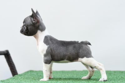 French Bulldog PUPPY FOR SALE ADN-89474 - 9 week old French bulldog pups Available